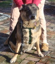Point Pleasant, NJ German Shepherd dog diagnosed with Pannus