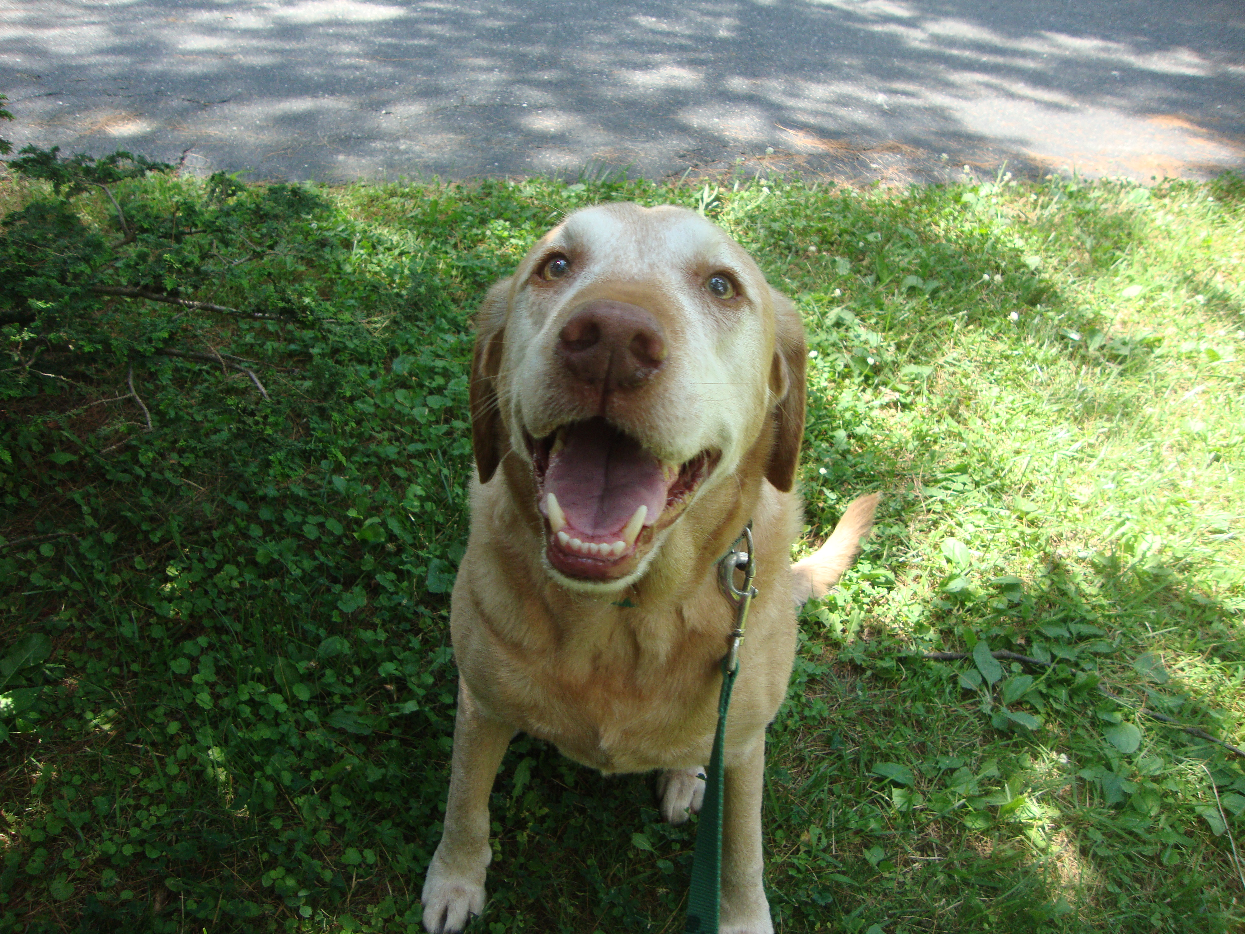 Allergy Control for Yellow Labrador